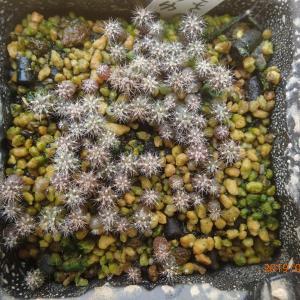 今年のサボテン実生苗の植え替え