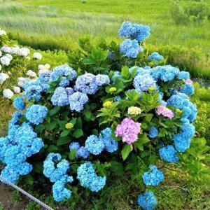 今年もみなも公園東側の調整池の周りに咲いたアジサイがきれいです!