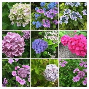 雨と紫陽花とバームクーヘン