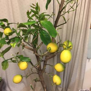 レモンの鉢植え栽培は続く