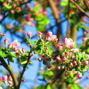 リンゴの花も
