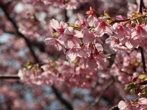 まつだ桜祭り 河津桜/ Kawadu zakura at cherry blossom festival in Matsuda town