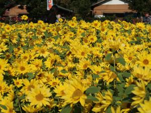 晩秋の向日葵/ Sunflower in late autumn