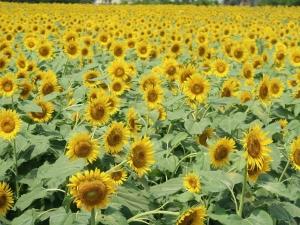 清瀬ひまわりフェスティバルに/ Kiyose Sunflower festival