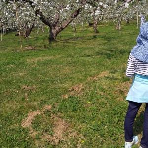 林檎の花は満開です。