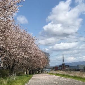 桜の花びら舞い散る中のひるんぽと黄色のディーバーちゃん