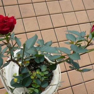 薔薇が二輪