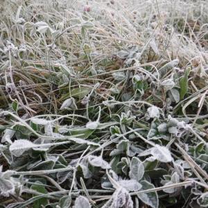 労働38日目 ばりばりに霜が降りてた朝