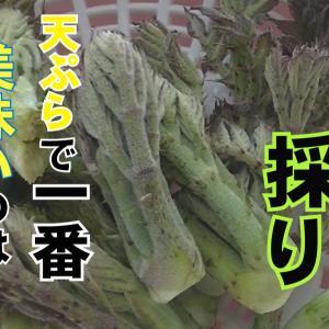 【動画】山菜採りの続編をアップしました!