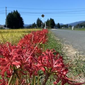 道端を彩る彼岸花