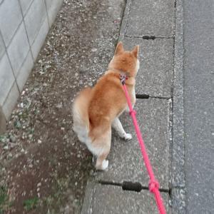 船橋市のペットシッター モモとお散歩