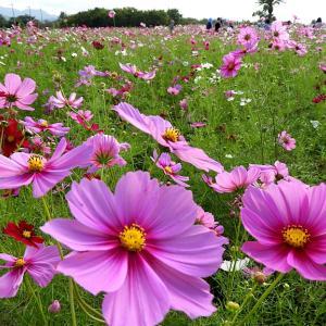 秋の花2 和泉リサイクル環境公園