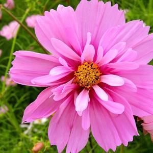 秋の花2019 3 和泉リサイクル環境公園2