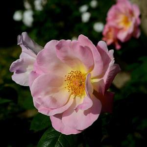 浜寺公園のバラ園 5 里の景とバラの歴史