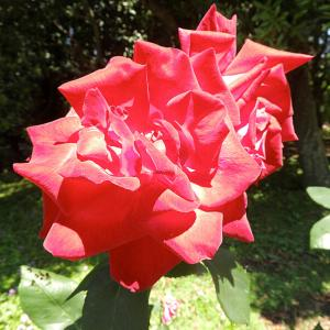 蜻蛉(とんぼ)池公園のバラの花 6   ポケット広場