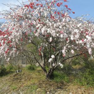 岩倉城(隅田城) 3 丸高稲荷神社と桜