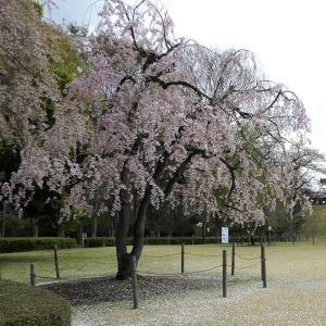 山形城(日本100名城) 3  最上義光(もがみ よしあき)騎馬像と桜
