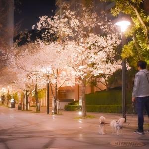 春を感じる夜桜さんぽ♪