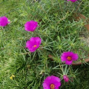 大雨が続いた広島、今日はひでり草開花