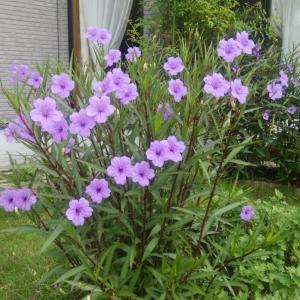 実家の紫宝花、薄い色合いで満開になっています♪