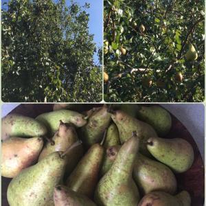 猛牛妹、お庭の西洋梨収穫