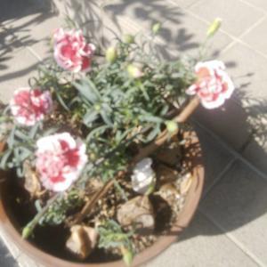 猛牛妹贈の「いちごミルク」、6度の開花