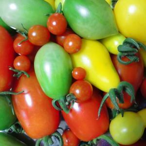トマトがとれました。意外にも