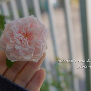 絶品のバラを咲かせたい~真っ赤な新芽♡