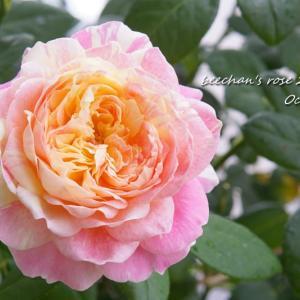あぁ~ん(/_;) 今朝のバラ(ガーデンオブローゼズ・カメオ・パシュミナ他…)