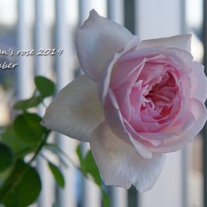 病気と液肥と開花バラと嬉しい蕾