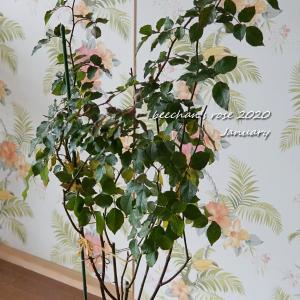 真っすぐ樹形のラマリエの植替えと平常心でいられず…