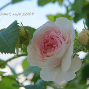 今朝の芽吹き&木立バラを誘引してみました