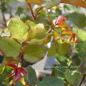 カメオの葉と今朝の蕾/薄毛のモネちゃん(´艸`*)