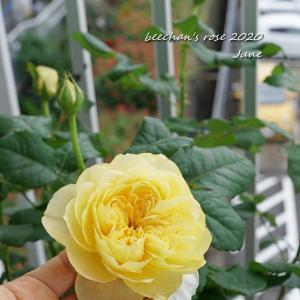 2番花ジャンヌダルクと葉の縮れが改善♪/純石鹸