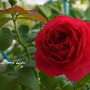 ステムが伸びない赤バラ…その後/モーたんのおうちが…