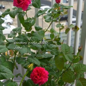 ニーナアナニアシビリ2番花と元気なガブリエル♪