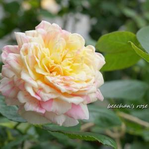 今朝のバラとグリーンアイス2番花も♡/アスタキサンチン