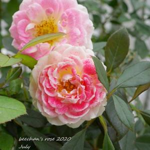 南側から順番に今朝のバラ8品種