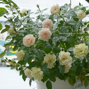 グリーンアイスと最後の2番花たち/タッチパネル