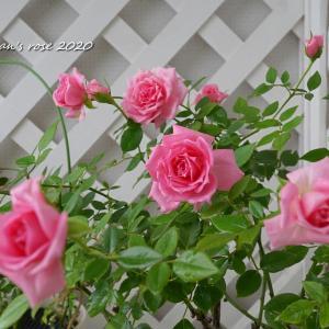 2番花よりキレイな3番花オーバーナイトセンセーション