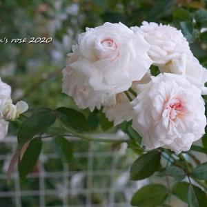 元気がなくなったバラとポンポン房咲きの粉粧楼/カカオニブ