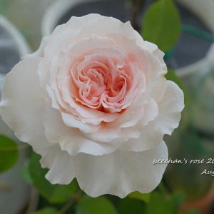 昨日のバラが可愛く開きました♡/抜けたよ