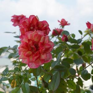 挿木のセリーヌフォレスティエ、、、咲いちゃった!