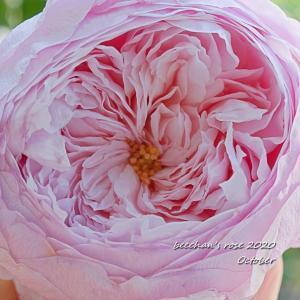 秋バラは花弁ギュウギュウ/美人さんに撮れました♡