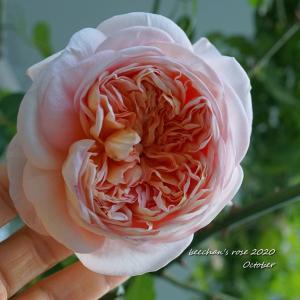 秋寒のバラが1番キレイかも~新入りの花持ち/マレフィセントとバニーちゃん♡