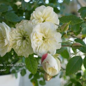 今朝の白バラ達/不味そう