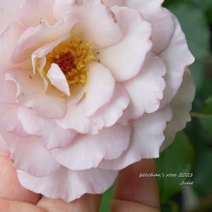 茶色の覆輪のガブリエルとシュクレが咲きそう/マルドンのシーソルト