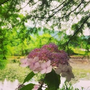 緑の中に浮かび上がる紫陽花