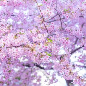 河津桜の木の下で*2020