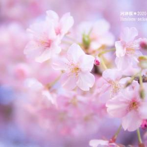 河津桜を見上げて